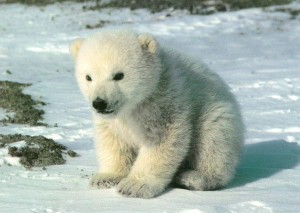 polar-bear-pup