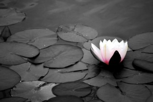 water_lillies_black_and_white_by_sugartasticvalentine